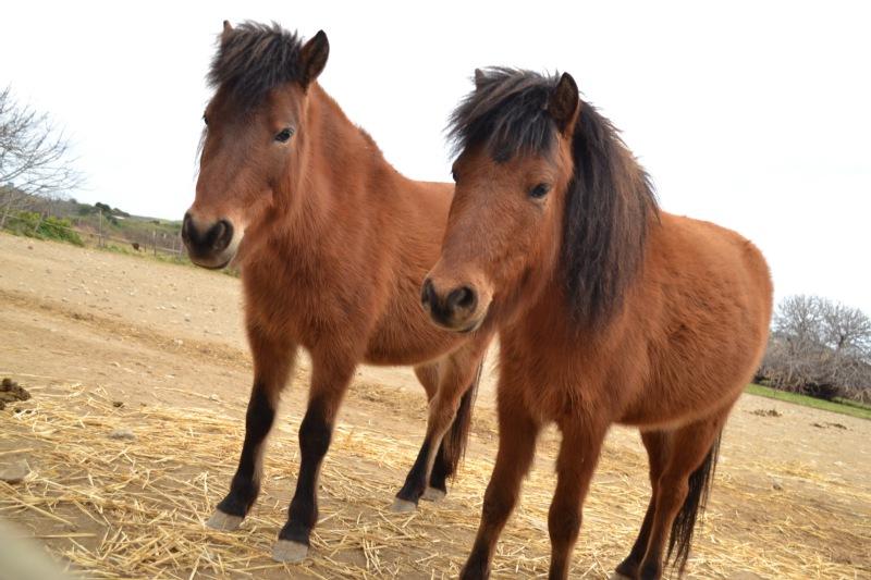 Skyros Ponies