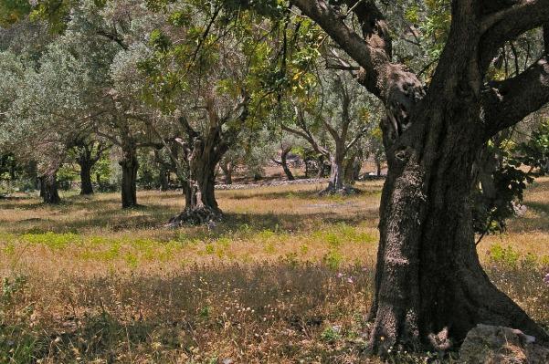olive-trees-samos